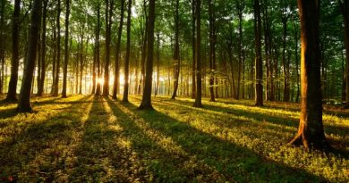 Foresta all'alba con il sole tra gli alberi