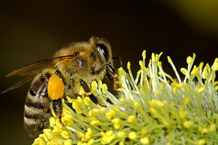 Il declino delle api e del miele