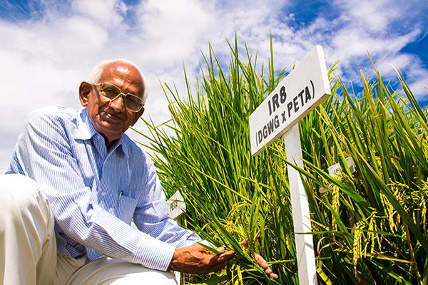 Persona anziana di fianco a delle piante di Riso IR8, pianta simbolo della rivoluzione verde