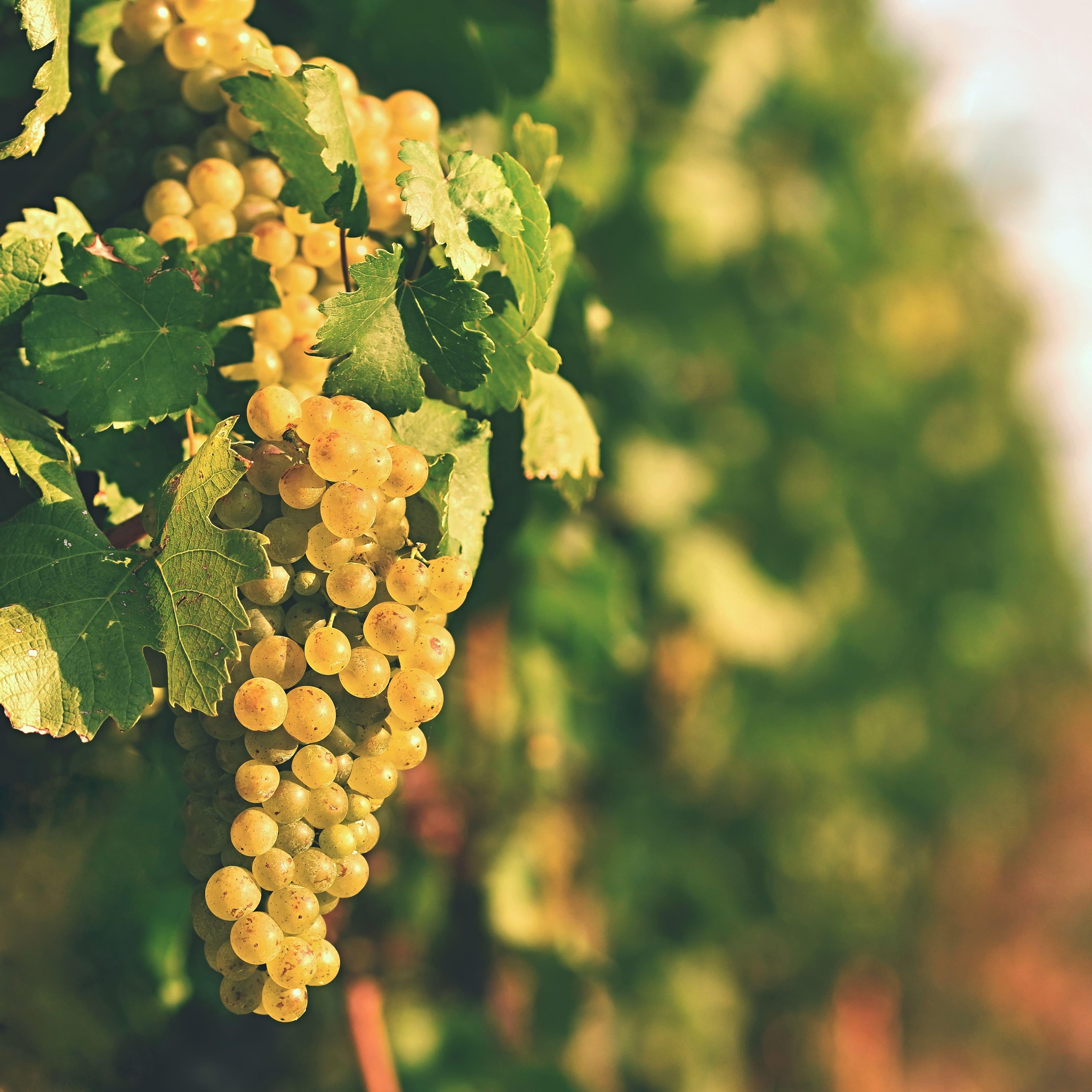 Vino in Belgio: il cambiamento climatico in agricoltura