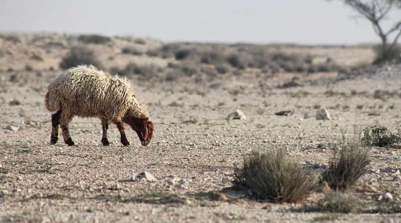 pecora nel deserto in cui per l'intervento dell'uomo si sta riducendo la biodiversità della vita selvatica